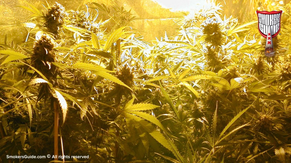 Growing Cannabis In Amsterdam